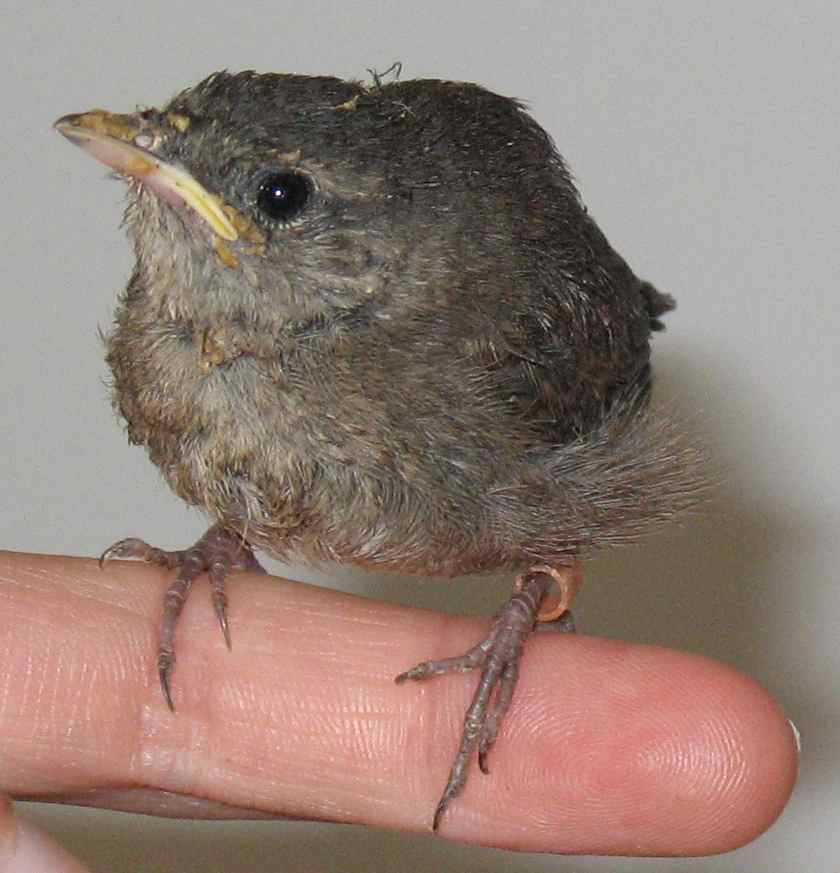A Rehabbed House Wren Nestling (and Messy Eater) Nearly Ready To Fledge