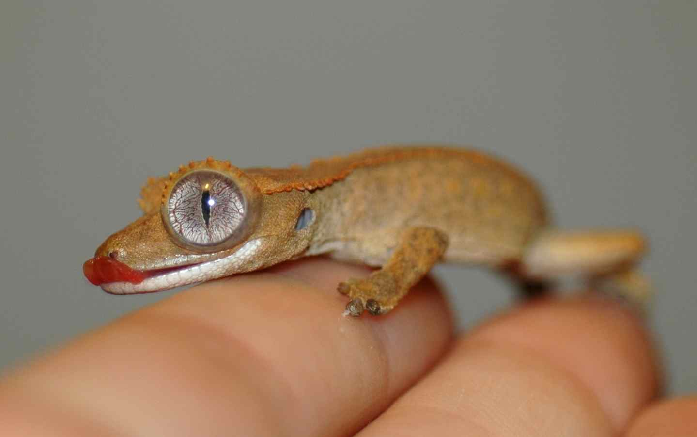 Baby Gecko Update 2 Tough Little Birds