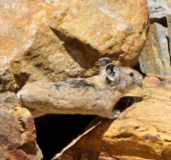 The pika's lower range limit contracted upward, causing its overall range to shrink. Photo by M. LaBarbera