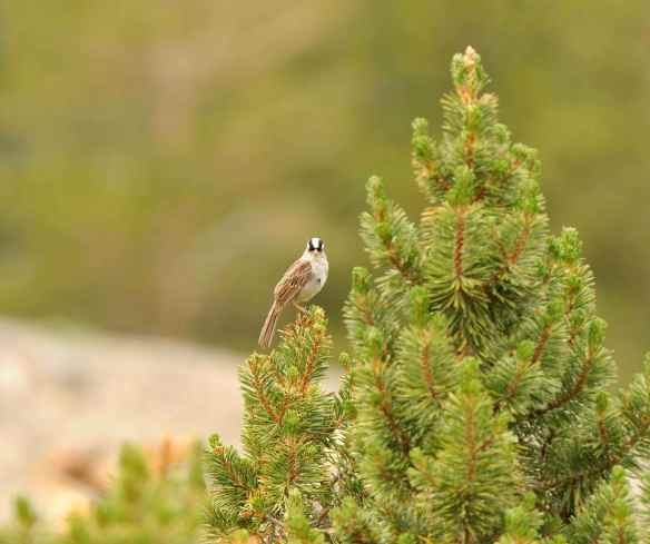 White-crowned Sparrow at about 10,000 ft above sea level. Photo by M. LaBarbera