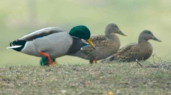 Mallards on land in Chicago in December.