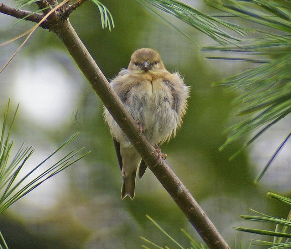 Goldfinch fluffed up against the cold. Photo by Jen Goellnitz