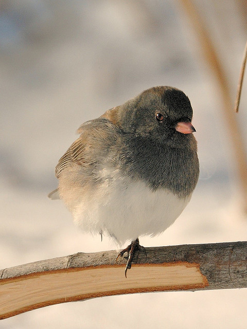 Dark-eyed Junco at zero degrees Fahrenheit, standing on one leg to tuck the other into her down. Photo by Pete Zarria
