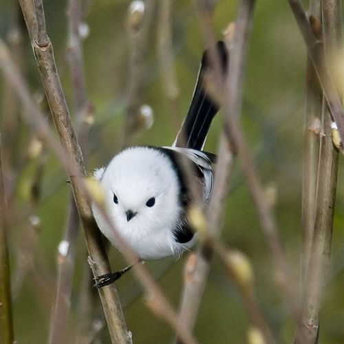 Okay, last Long-tailed Tit photo. I just love these little guys. Photo by Sergey Yeliseev