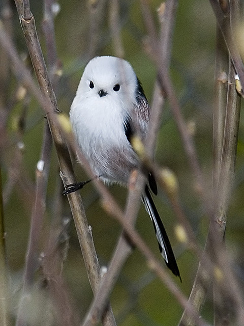Long-tailed Tit. Photo by Sergey Yeliseev