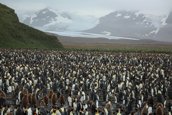 King Penguin colony. Photo by Liam Quinn.