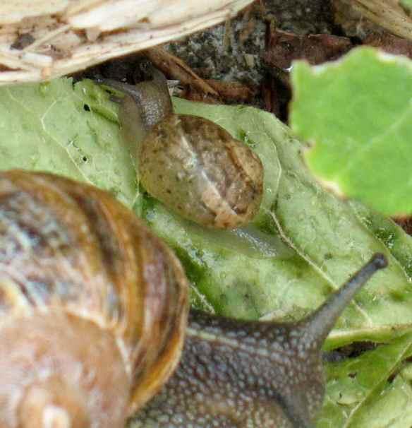 snails16