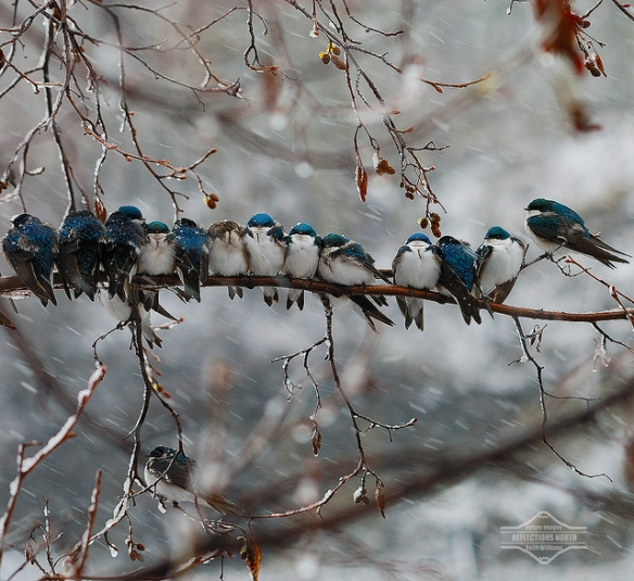 Very cold Tree Swallows. Photo by Keith Williams