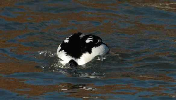 Male Common Goldeneye: no, man, your head -