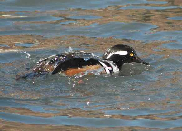 Male Hooded Merganser: if you could stop bathing and raise your hood for a sec -