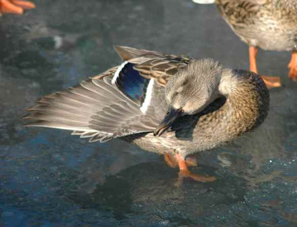 Female Mallard: lovely coy pose, but blinked.
