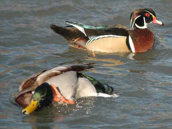 Male Mallard (and male Wood Duck): That's it. I'm done.