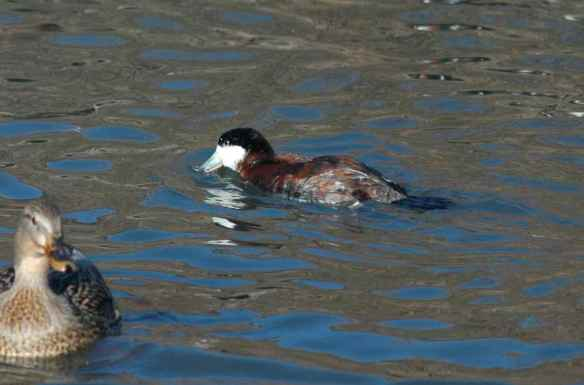 Male Ruddy Duck: if you could just life your head -