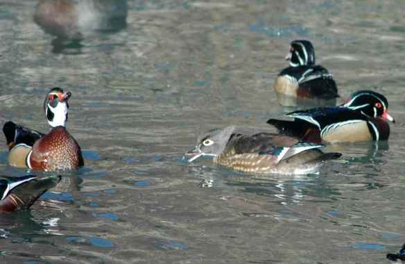 Wood Ducks: sorry, you had your mouth open.