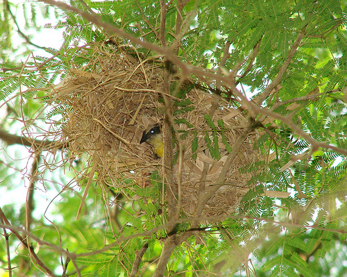 Bananaquit inside its nest: cozy! Photo by barloventomagico