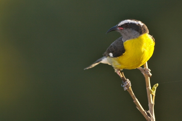 Bananaquit. Photo by Alan Wolf