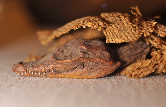 Mummified crocodile, for Sobek.OIM 701. Photo by M. LaBarbera