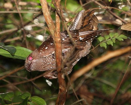 Oilbird. Photo by Dominic Sherony