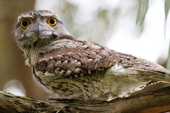 Tawny Frogmouth. Photo by Frankzed