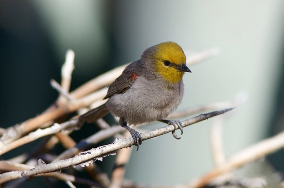 Verdin. Photo by Henry McLin