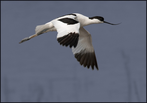 Pied Avocet. Photo by Michael Brace
