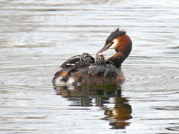 Great Crested Grebe parent with chicks. Photo by Mike Scott.