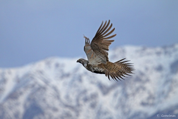 Male Greater Sage-grouse. I couldn't find any pictures of chickens flying (apparently chickens are lazy!) but grouse similarly fly only in short bursts and have primarily white-muscle-fibered flight muscles.Photo by Tatiana Gettelman