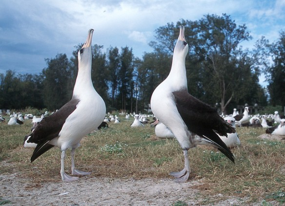 Laysan Albatross pair performing courtship dance. Photo by Michael Lusk.