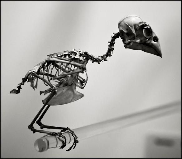 Skeleton of an unknown bird. Photo by howzey.