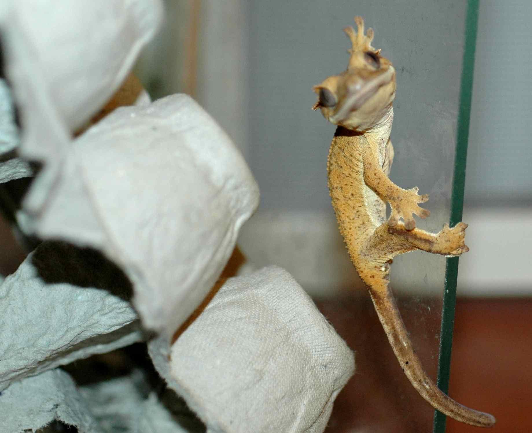 how do geckos stick tough little birds