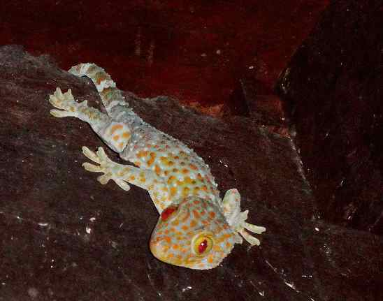 Tokay gecko.Photo by Jude Adamson