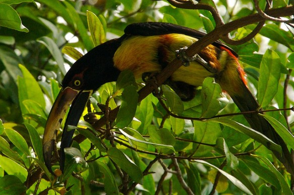 Toucan bills are hollow, so not as heavy as they look. Photo by Luca5.