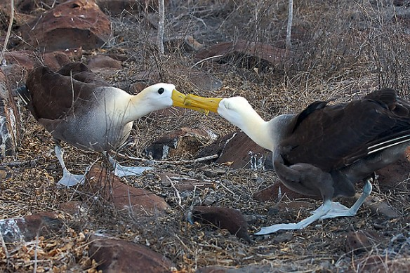 Waved Albatross dancing. Photo by Aaron Logan.
