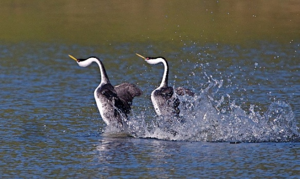 Western Grebes performing courtship dance. Photo by Teddy Llovet.