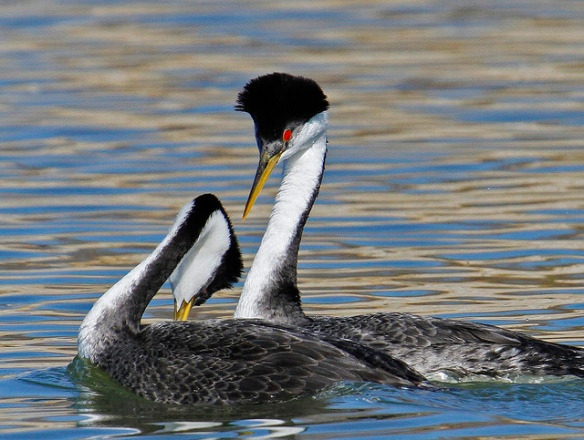 Western Grebes performing an early step in the courtship dance. Photo by Mark L. Watson.