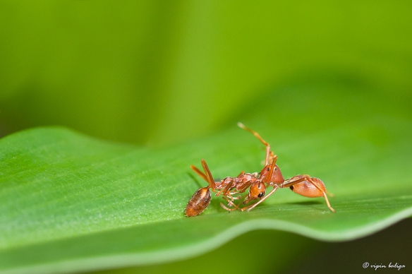 Hello, fellow ant. Oh, why am I carrying one of your dead sisters in my jaws? Well, she - sadly - died on her own, and, you know, wouldn't want to waste... Yeah, why don't you come closer to help me carry her...(Ant-mimic spider carrying its prey, an ant. Photo by Vipin Baliga.)