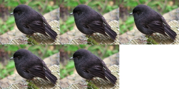 black_robin5