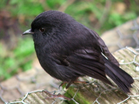 Black Robin. Photo originally by schmechf, modified by Wikimedia Commons.