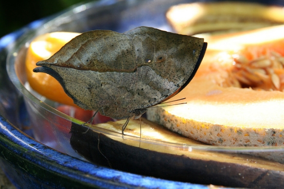 Oh weird, a dead leaf near your sweet-smelling fruit. I dunno why. Gravity, probably.(Dead leaf butterfly; photo by TheGirlsNY.)