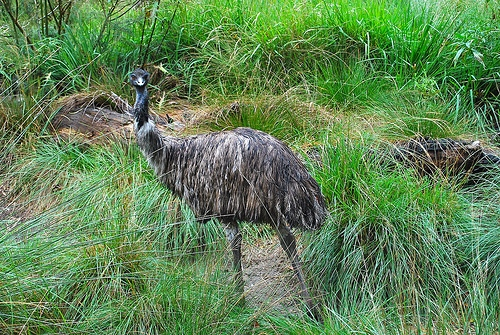Emu.Photo by World of Animal Welfare