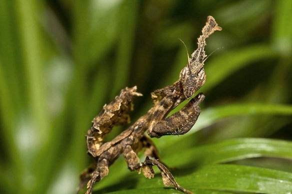 I'm kind of a scary dead leaf. You should be uninterested AND intimidated.(Ghost mantis; photo by Frupus.)