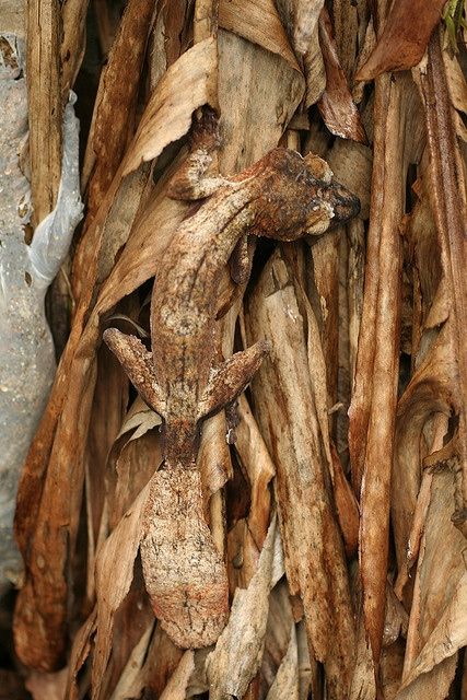 Just hanging out, being dead and crunchy, like leaves do.(Giant leaf-tailed gecko; photo by David d'O.)