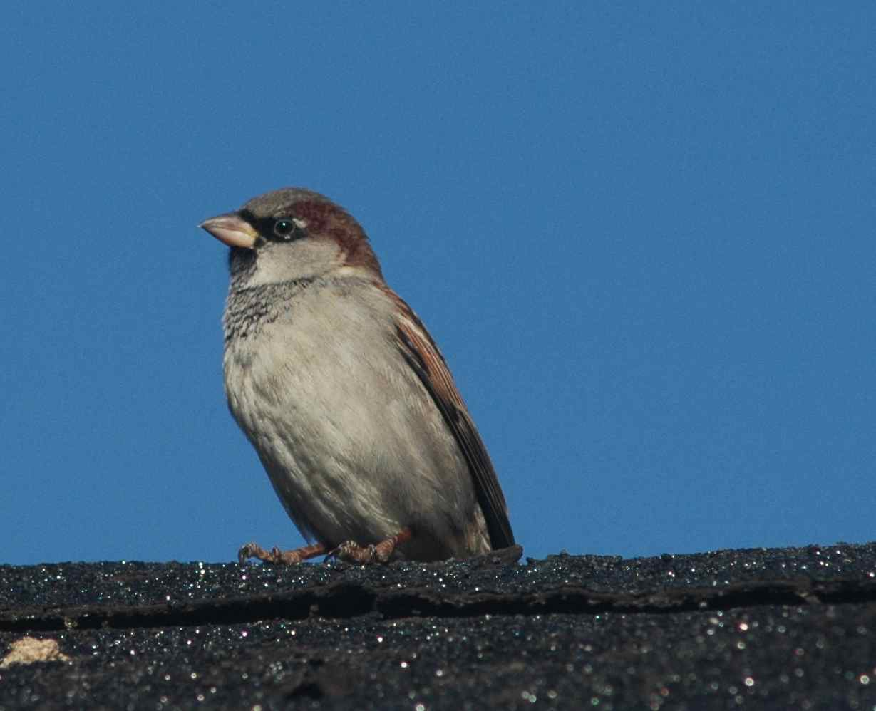Badges of status, or, keeping House Sparrows honest ... - photo#3