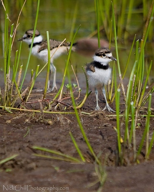 Killdeer chicks.Photo by Nick Chill Photography