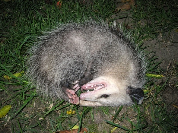 Ugh, look at my gross dead mouth. Now go away.(Opossum; photo by Tony Alter.)