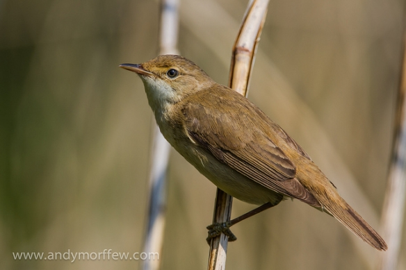 Adult Reed Warbler.Photo by Andy Morffew