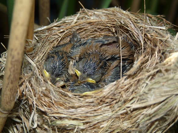 Reed Warbler chicks. This is the life.Photo by nottsexminer