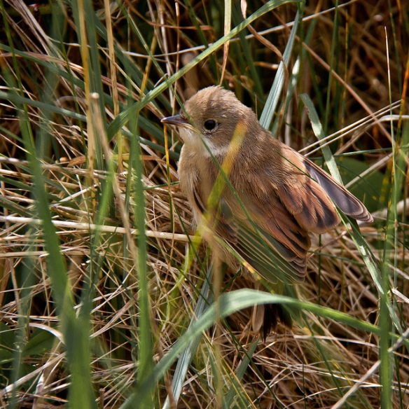 Fledgling Reed Warbler (probably - ID is not 100% certain. Fledgling something, certainly!) Photo by Mark Robinson