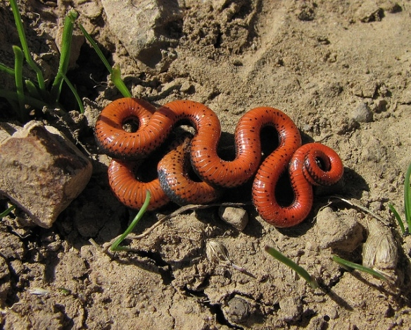 Look at my death contortions.(Ring-necked snake; photo by randomtruth.)