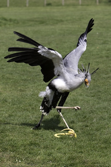 Secretarybirds kill snakes by stomping on them, then eat them.Photo by Brian Scott
